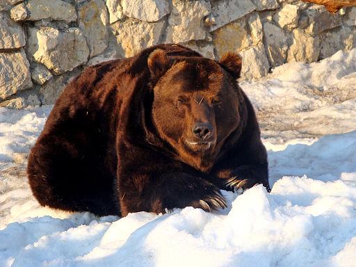 Russian bear in snow.