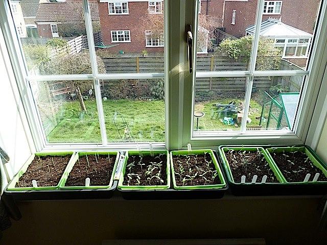 Windowsill seedlings. (Photo via Allotment Heaven http://allotmentheaven.blogspot.ca/)