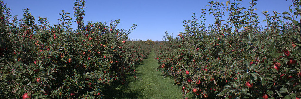 Honeycrisp orchard, Annapolis Valley, NS. (Photo by MikeyMoose (Own work) [CC BY-SA 3.0 (http://creativecommons.org/licenses/by-sa/3.0) or GFDL (http://www.gnu.org/copyleft/fdl.html)], via Wikimedia Commons)