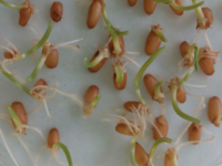 Wheat seeds germinating. (Photo by Oksana Lastochkina, own work, CC BY-SA 4.0 (http://creativecommons.org/licenses/by-sa/4.0)], via Wikimedia Commons(
