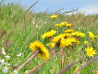 Dandelions (By Xchen11 (Own work) [CC BY-SA 4.0 (http://creativecommons.org/licenses/by-sa/4.0)], via Wikimedia Commons)