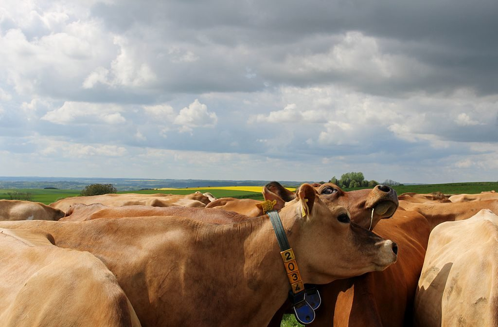 Jersey cows, Denmark. (Photo by BartLaridon, own work, CC BY-SA 4.0, (http://creativecommons.org/licenses/by-sa/4.0)], via Wikimedia Commons)