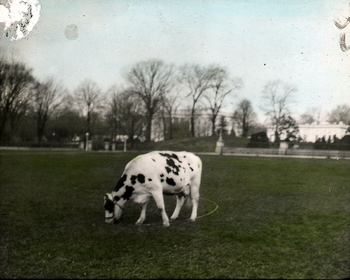 Pauline was the pet of President William Howard Taft and is seen here grazing on the south lawn of the White House. She supplied the Taft family with fresh milk daily. (By DCPL Commons (originally posted to Flickr as Pauline) [Public domain], via Wikimedia Commons)