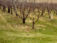 Semi-dwarf apple trees. (Photo via iowaorchard https://iowaorchard.wordpress.com/)