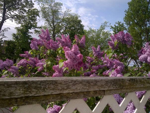 Lilacs (Spectator photo)