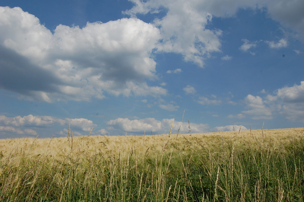 By Angela Marie from NRW/Germany (Cornfield) [CC BY 2.0 (http://creativecommons.org/licenses/by/2.0)], via Wikimedia Commons