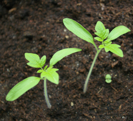 Tomato seedlings. (Photo by Priit Tammets, CC by 2.0, via Wikimedia Commons)