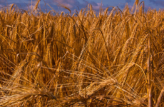Barley By Eugenereed1984 (Own work) [CC BY-SA 3.0 (http://creativecommons.org/licenses/by-sa/3.0)], via Wikimedia Commons