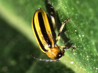 Cucumber beetle. (Photo by Scott Bauer,  US Dept of Agriculture https://www.ars.usda.gov/oc/images/photos/k7765-1/, via Wikimedia Commons)