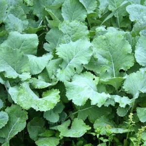 Forage kale