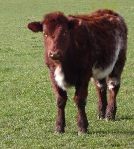 Beef Shorthorn calf (Photo ny Cgoodwin, own work, CC BY-SA 3.0 (http://creativecommons.org/licenses/by-sa/3.0) or GFDL (http://www.gnu.org/copyleft/fdl.html)], via Wikimedia Commons)