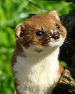 Weasel (Photo by Karen White)