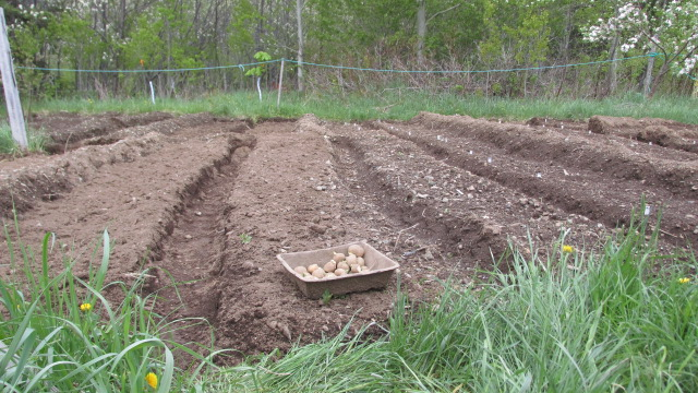 Potato variety trials on George Brinson's half acre. (Photo by Stephanie Hughes)
