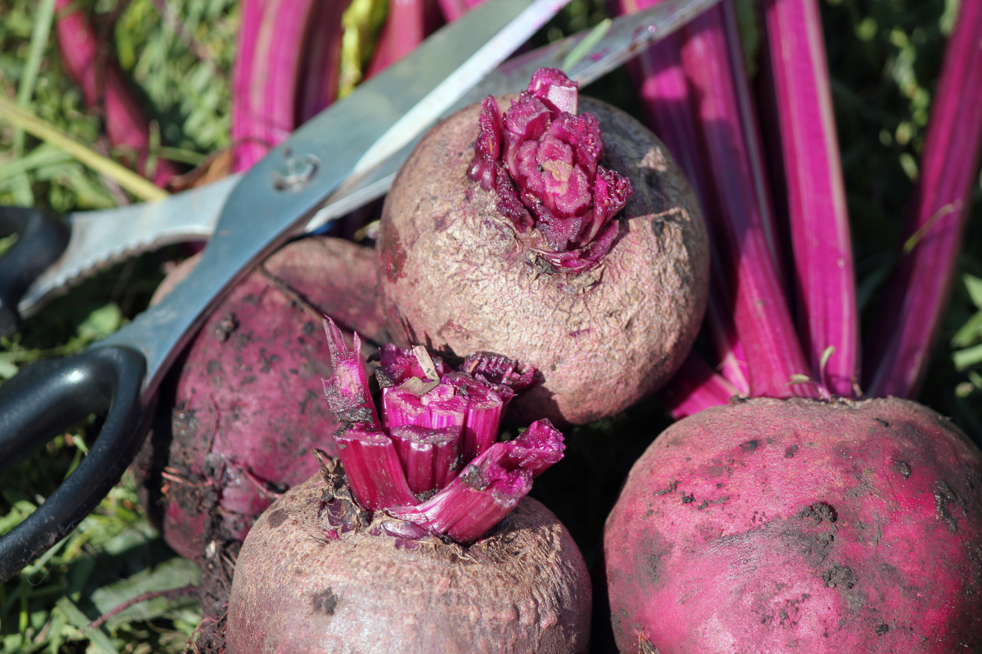 Beets, ready for storage. (Photo by Madeline Yakimchuk)