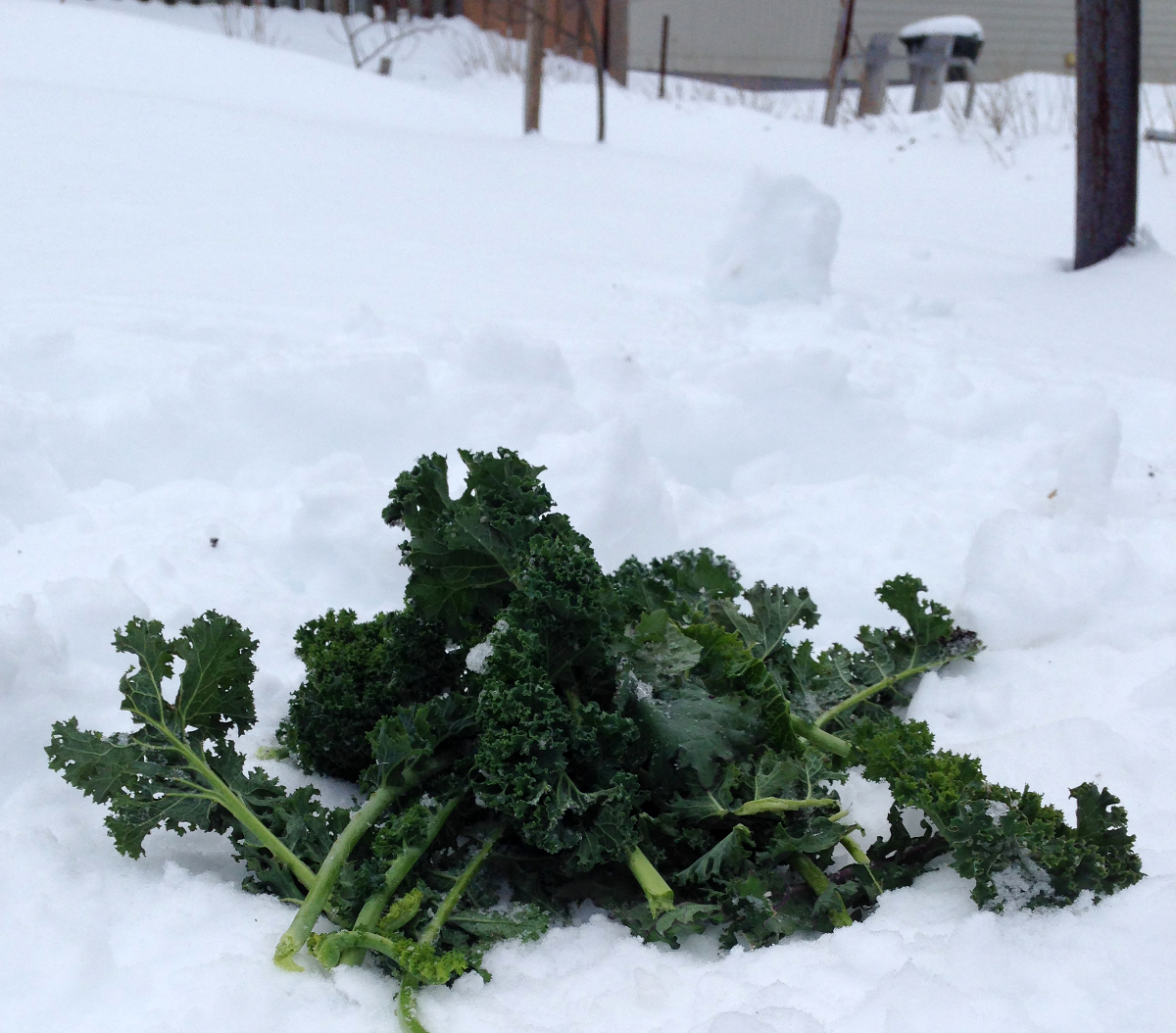 Kale in winter. (Photo by Madeline Yakimchuk)