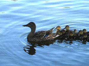 Mother mallard and ducklings. (Photo by Scrumshus, own work, Public Domain, via Wikimedia Commons)