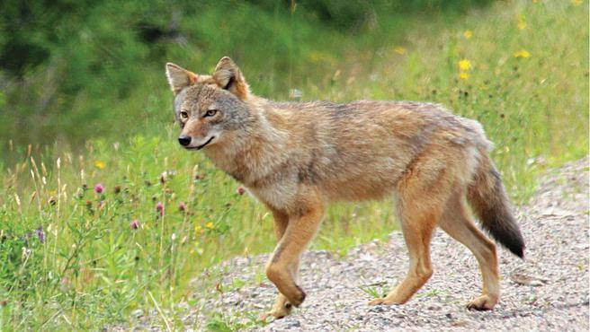 Coyote (Photo via Parks Canada)