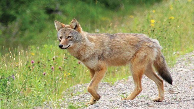 Coyote (Photo via Parks Canada)