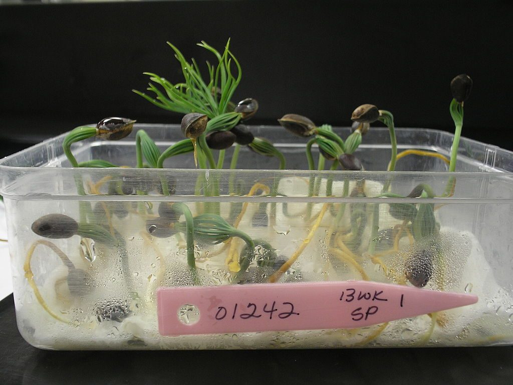 By USFS Region 5 (Closeup of Seed Germination Test) [CC BY 2.0 (http://creativecommons.org/licenses/by/2.0)], via Wikimedia Commons
