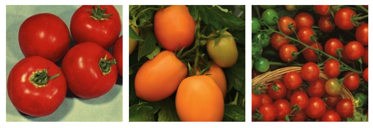 Scotia, Sunrise Sauce and Tiny Tim tomatoes. (Source: Veseys https://www.veseys.com/ca/vegetables/tomatoes.html?p=2)