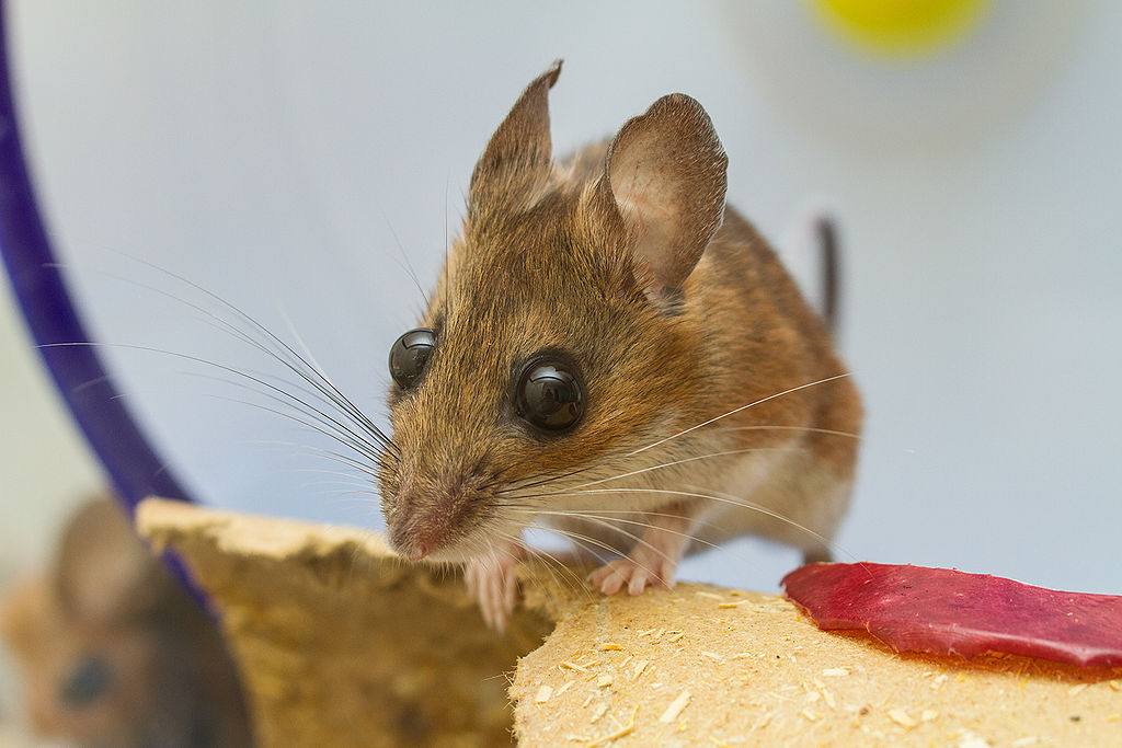 Captive white-footed mouse. (Photo by Charles Homler [CC BY-SA 3.0 (https://creativecommons.org/licenses/by-sa/3.0)], from Wikimedia Commons)