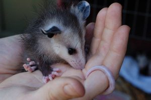 """Vicious"" baby possum. (Photo By Russell Neches from Davis, USA (dsc_2930.jpg) [CC BY 2.0 (https://creativecommons.org/licenses/by/2.0)], via Wikimedia Commons)"