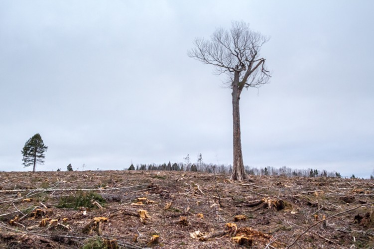 "A lone hardwood ""legacy tree"" on private land in Halifax County stands amid the total destruction of mixed-species Acadian forest that used to surround it. (Ecology Action Centre https://ecologyaction.ca/)"