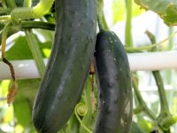 Cucumbers. (Photo by Madeline Yakimchuk)