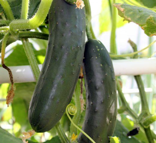 Cucumbers. (Photo by Madeline Yakimchuk)