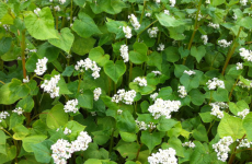 Flowering buckwheat cover crop. (Source: The Campus Community Garden http://web.uvic.ca/~ccgarden/buckwheat-covercrop/, University of Victoria)