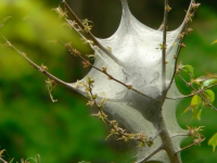 Web or tent of Eastern tent caterpillar. Photo by Greg Hume (Greg5030), CC BY 2.5,  https://creativecommons.org/licenses/by/2.5, via Wikimedia Commons (cropped)