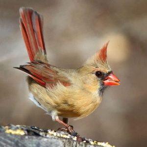 "The only kind of picture available when you google ""female cardinal""...for now."