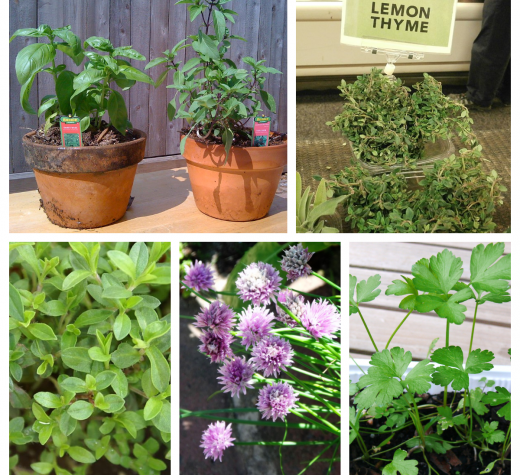 Clockwise from upper left: Basil (Photo by Cchatfield [CC BY-SA 3.0  (https://creativecommons.org/licenses/by-sa/3.0)]; Thyme (Photo by Jeffery Martin [CC0; Parsley (Photo by PARDC - Own work, CC BY-SA 3.0, https://commons.wikimedia.org/w/index.php?curid=18344246); Chives (Photo bygrassrootsgroundswell (chives) [CC BY 2.0  (https://creativecommons.org/licenses/by/2.0)]); Winter Savory (Photo by David J. Stang [CC BY-SA 4.0  (https://creativecommons.org/licenses/by-sa/4.0)],); All via Wikimedia Commons