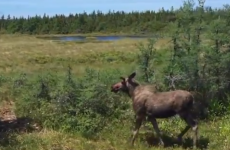 "Moose in CBHNP. Still shot from Parks Canada ""Bring Back the Boreal"" video. (Source: YouTube https://www.youtube.com/watch?v=oTevrWnhlWg)"