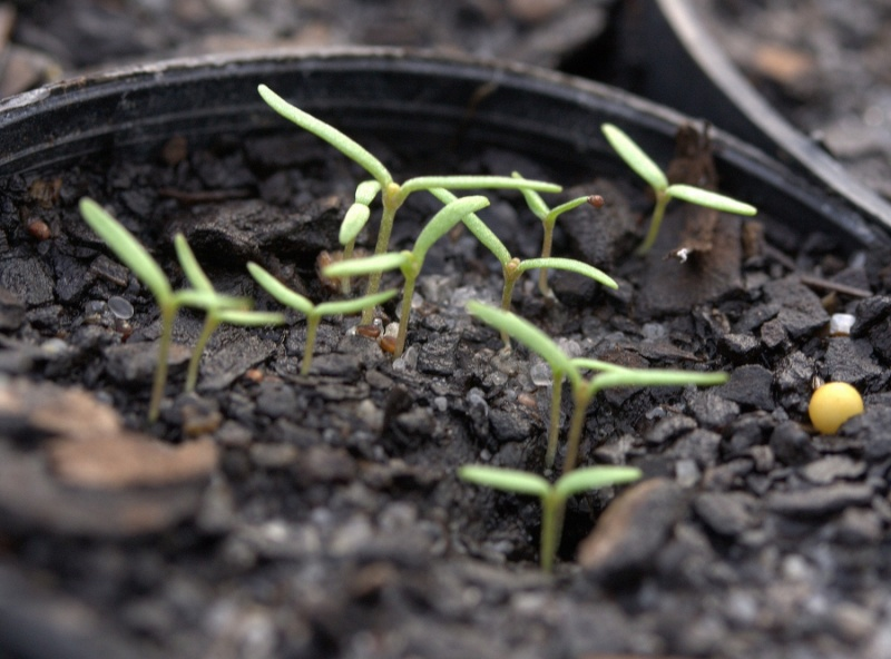 Poppy seedlings. (Source: Lambley Nursery https://lambley.com.au/garden-notes/poppies)