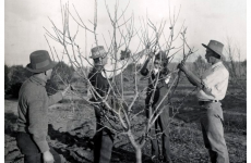 Glen Innes Soldiers' Settlement Estate - receiving instructions in pruning, 1921.(  Photographic Collection from Australia [CC BY 2.0 (https://creativecommons.org/licenses/by/2.0)]