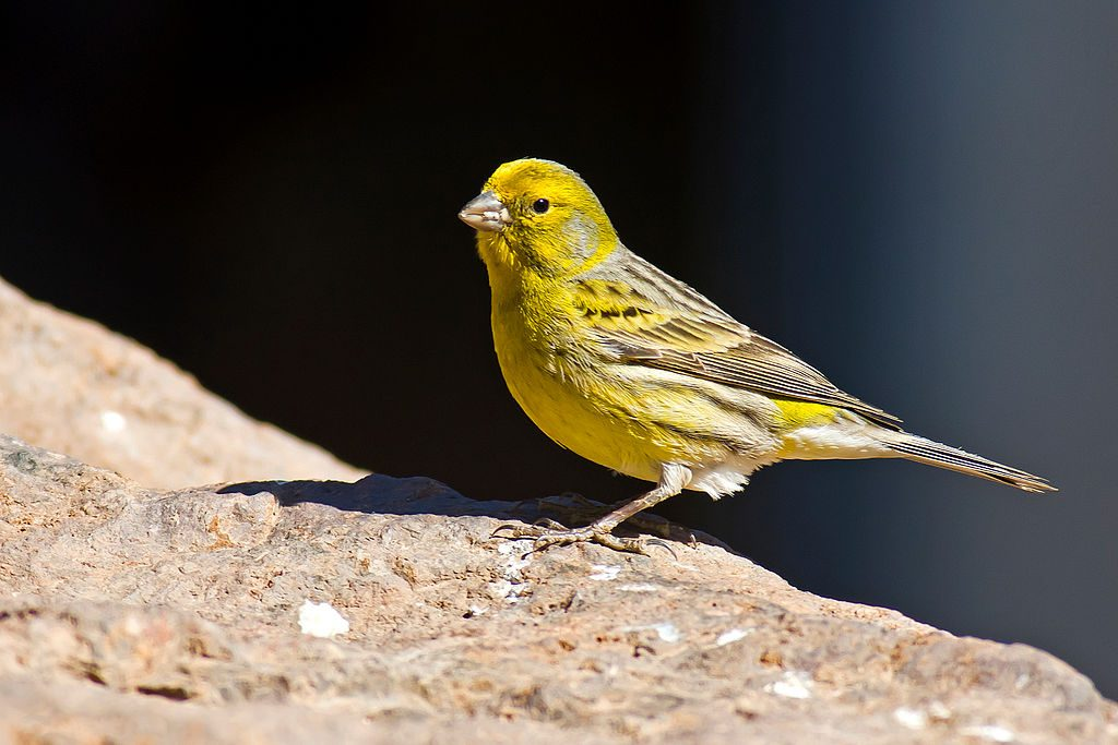 Canary. (Photo by Juan Emilio [CC BY-SA 2.0 (https://creativecommons.org/licenses/by-sa/2.0)]