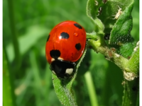 A ladybug, (Coccinella sp., probably C. septempunctata) with aphids on a weed. Photo by Greyson Orlando CC BY-SA 3.0, https://commons.wikimedia.org/w/index.php?curid=35279712