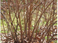 Blueberry bush. (Source: UConn Blueberry bush pre-pruning. (Source: UConn http://ipm.uconn.edu/documents/raw2/html/500.php?aid=500))