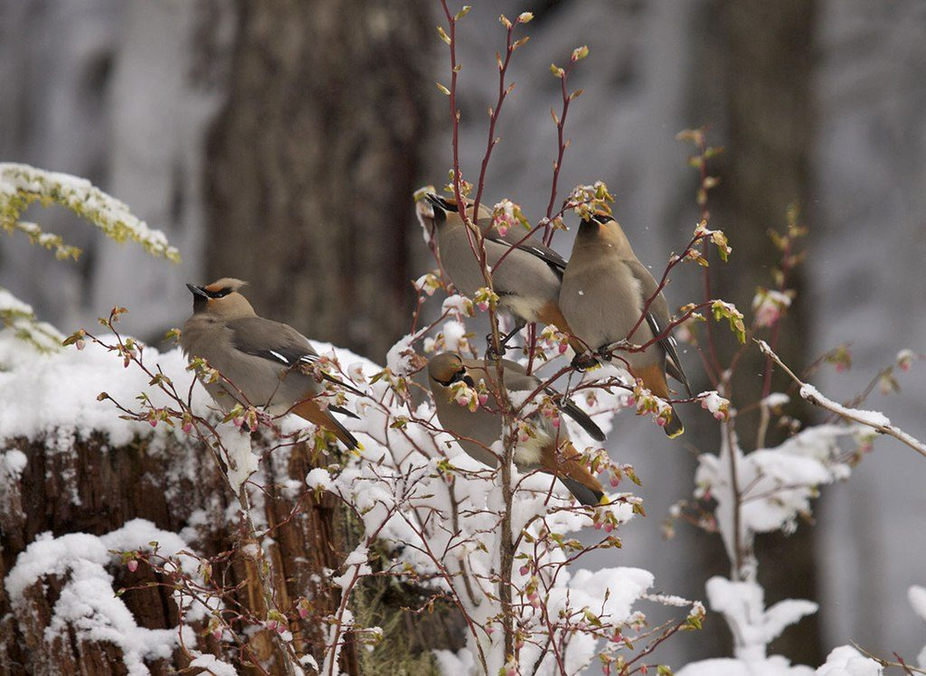 Bohemian Waxwings on a blueberry bush. Juneau, Alaska. Spring 2013. (Photo Gillfoto from Juneau, Alaska, United States [CC BY-SA 2.0 (https://creativecommons.org/licenses/by-sa/2.0)]