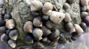 Common periwinkles. (Photo courtesy of Seashore to Forest Floor http://www.seashoretoforestfloor.com/common-periwinkle-littorina-littorea/)