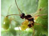 A quarter-inch-long parasitic wasp, Peristenus digoneutis, prepares to lay an egg in a tarnished plant bug nymph. (Photo by Scott Bauer, US Dept of Agriculture, Public Domain, via Wikimedia Commons)