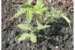Deep-planted tomato plant. (Photo by Dave Wallis / The Forum http://www.inforum.com/lifestyles/home-and-garden/4261574-getting-tomatoes-fast-start)