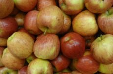 Royal Gala apples. (Photo by David Adam Kess, CC BY-SA 4.0, https://creativecommons.org/licenses/by-sa/4.0, from Wikimedia Commons