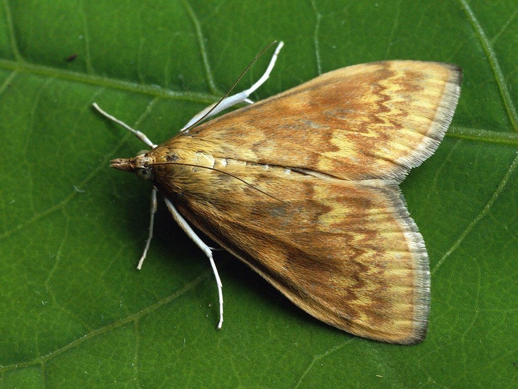European corn borer moth. (Photo by Ilia Ustyantsev from Russia [CC BY-SA 2.0 (https://creativecommons.org/licenses/by-sa/2.0)]