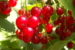 Red currants.(Photo by ojonsson from Göteborg, Sweden [CC BY 2.0 (https://creativecommons.org/licenses/by/2.0)]