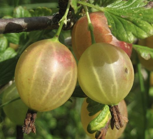 Gooseberry Photo: Pavel Leman - Own work, CC BY-SA 3.0 https://commons.wikimedia.org/w/index.php?curid=4424742