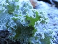 Frozen Kale. Photo by Ruth Hartnup, Vancouver. CC BY 2.0 https://commons.wikimedia.org/w/index.php?curid=80971596