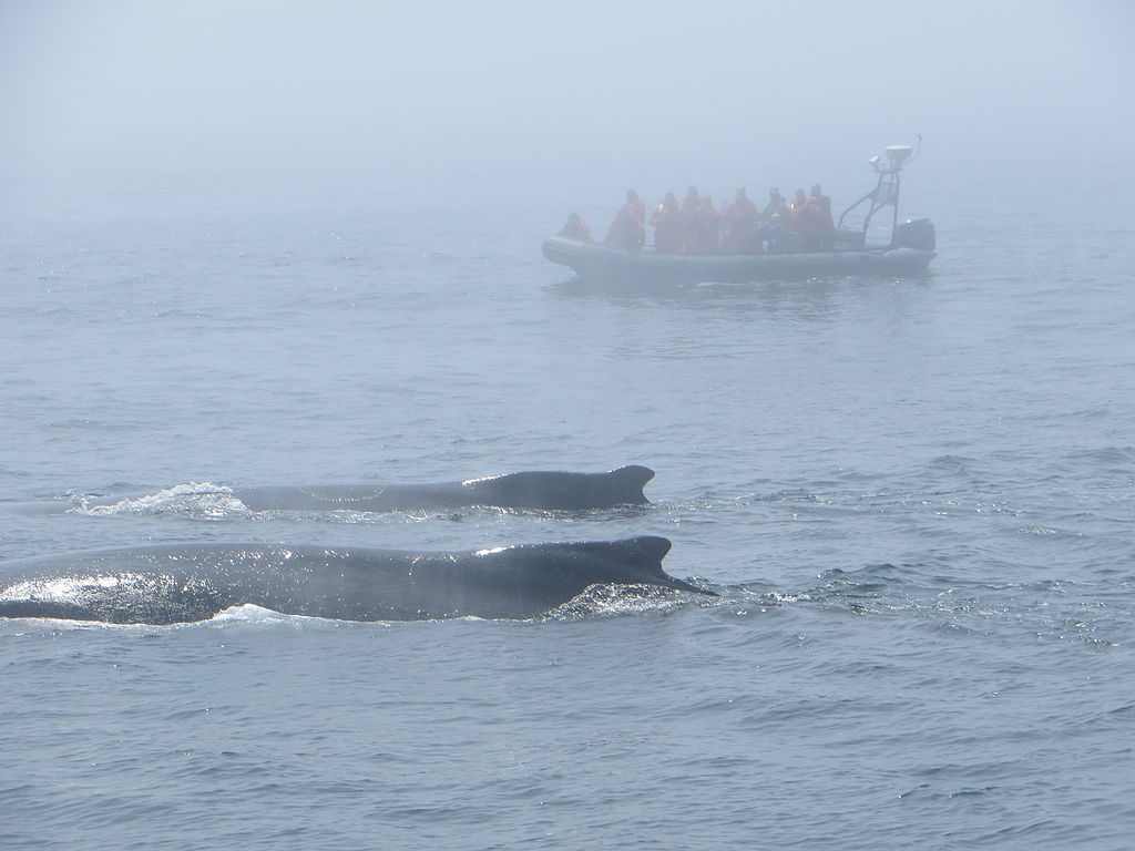 Humpback whales in the Bay of Fundy, NS.